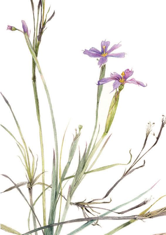 Blue Eyed Grass Drawing Blue Eyed-grass Blank